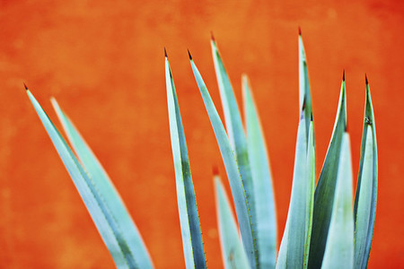 Green agave plant against bright orange wall 01
