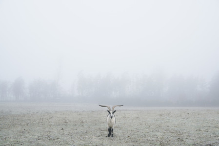 Peacock goat standing in foggy field 01