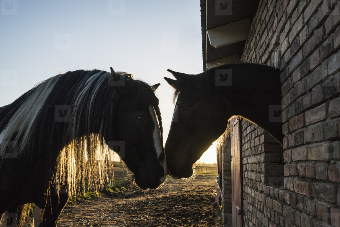 Affectionate horses face to face at barn window  01