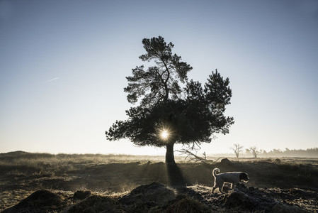 Dog walking past idyllic back lit tree 01