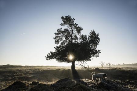 Dog walking past idyllic back lit tree 01
