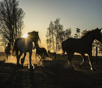 Horses running in idyllic pasture at sunset 01