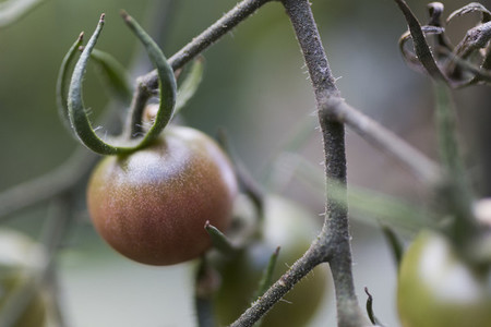 Close up tomato ripening on vine 01