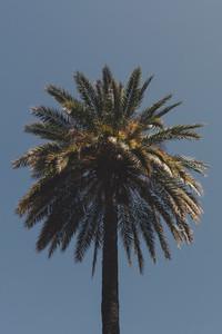 Tall palm tree against sunny blue sky 01