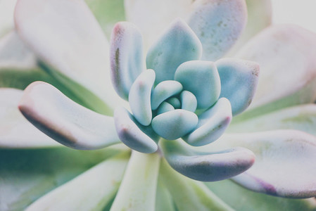 Close up of an echeveria opalina