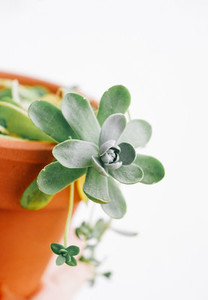 Beautiful succulent plant named orostachy iwarenge