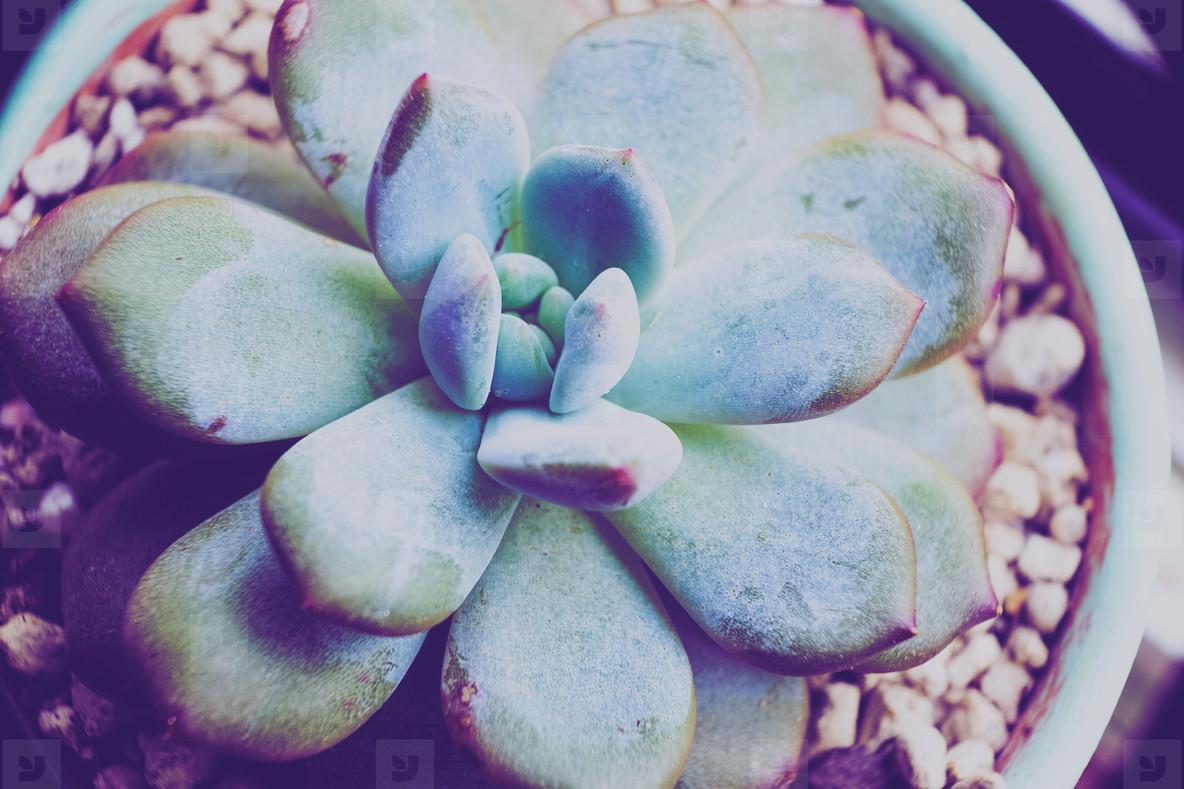 Close up of a beautiful echeveria laui