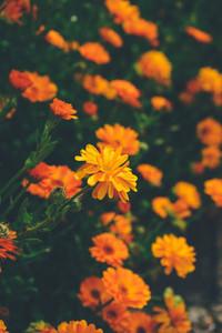 Beautiful background of calendula officinalis
