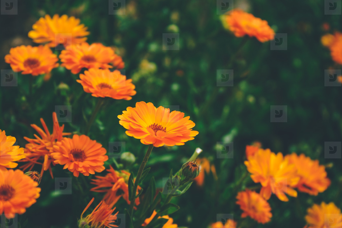 Beautiful background of calendula officinalis