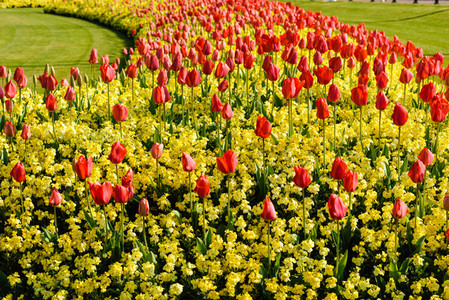 Red tulips in a urban garden in London