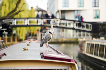 Heron or ardea cinerea in Little Venice  Camden town  London  UK