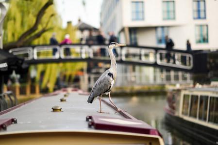 Heron or ardea cinerea in Little Venice Camden town London UK