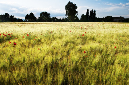 Gold Wheat flied with poppies