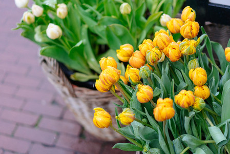 Yellow tulips with green leaves  Spring flowers closeup