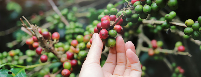 woman hand picking red arabica coffee beans on coffee p