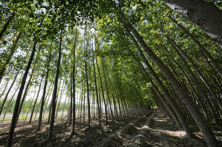 Poplar Forest in Fuente Vaqueros  Granada  Andalusia  Spain