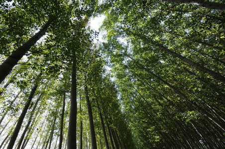 Poplar Forest in Fuente Vaqueros Granada Andalusia Spain