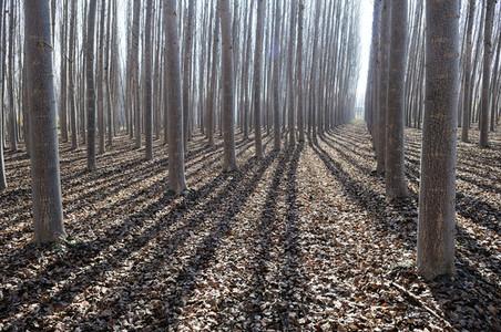 Poplar Forest in Fuente Vaqueros  Granada  Andalusia