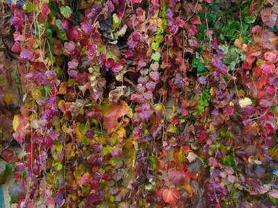 Red green and purple leaves texture background
