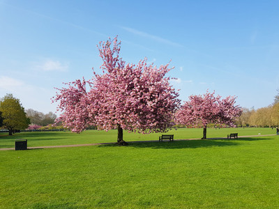 Trees with pink flowers in spring in Battersea park