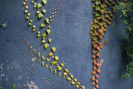 Red and green leaves texture background  Autumn leaves on blue wall