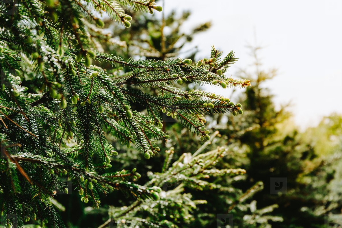 Spruce in a forest  Nature background  close up  Christmas concept