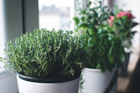 Basil and other herbs on windows