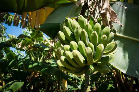 Unripe green bananas on tree