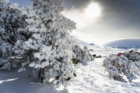 Snowed pine treer in ski resort of Sierra Nevada