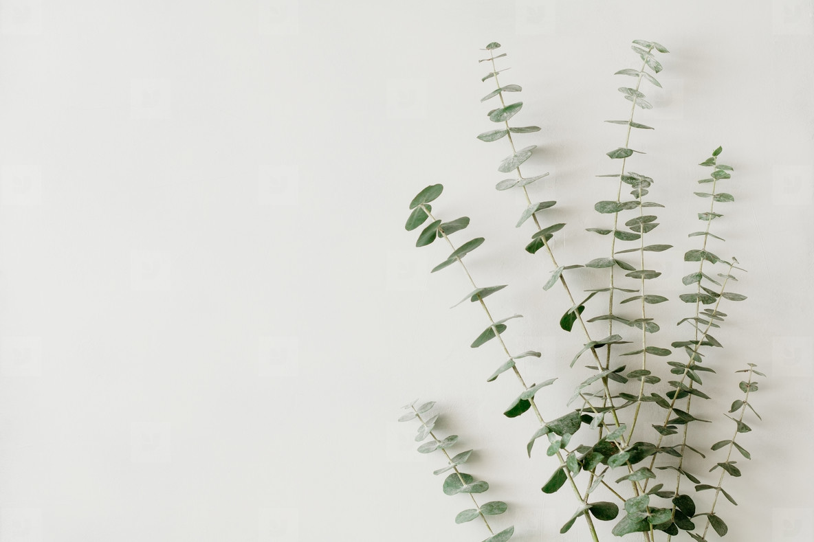 Minimalist floral white background with blue baby eucalyptus branch on it  Top view  flat lay  copy space