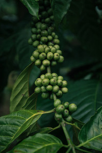 Green coffee cherry 1