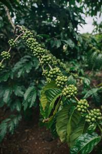 Green coffee cherry 2