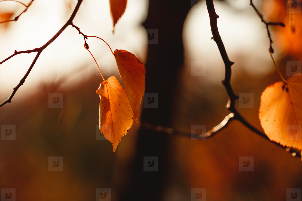 Birch branches with orange foliage against sunlight in Autumn forest  Nature frame  copy space
