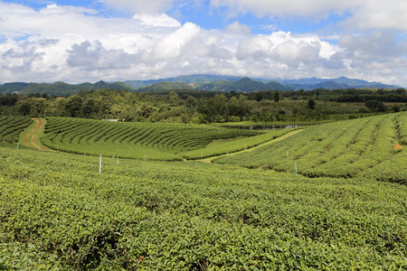 Choui Fong Tea Plantation 03
