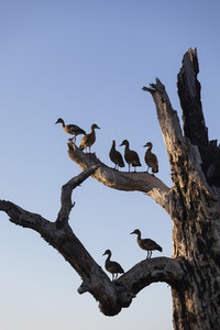 Birds perched on branches of dead tree  Kakadu National Park  Australia