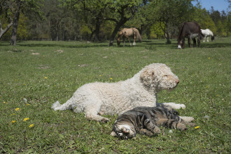 Cat and dog laying in sunny rural springtime field with horses in background