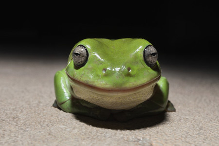Close up portrait cute smiling tiny green tree frog