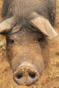 Close up portrait muddy free range pig