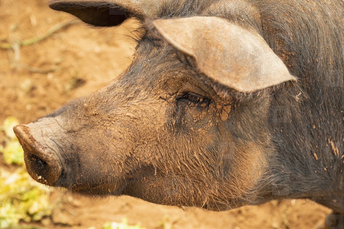 Close up profile muddy free range pig