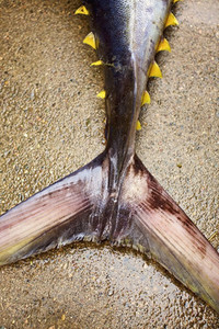 Close up tail of yellow fin tuna