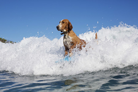 Dog surfing  riding ocean wave