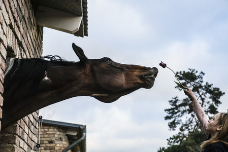 Girl showing tulip to curious horse leaning out barn window