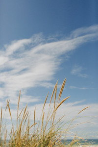 Golden beach grass below sunny  idyllic blue sky with clouds