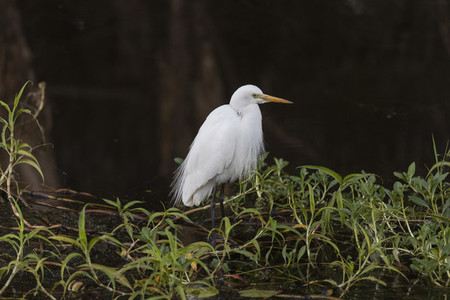 Great white egret  Kakadu National Park  Australia