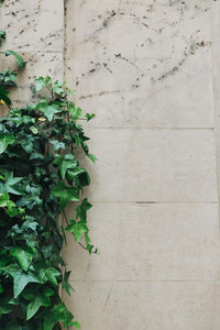 Ivy growing along stone wall