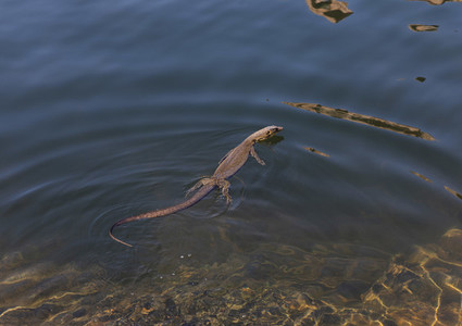 Monitor lizard swimming in sunny water