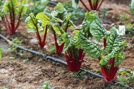 Organic red chard growing in vegetable garden