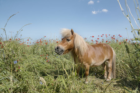 Pony in sunny rural field with poppy wildflowers