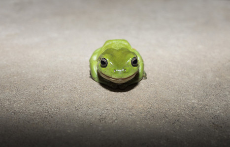 Portrait cute tiny green tree frog