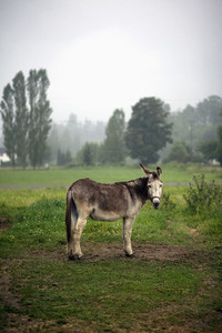 Portrait donkey in rural field  Agassiz  British Columbia  Canada